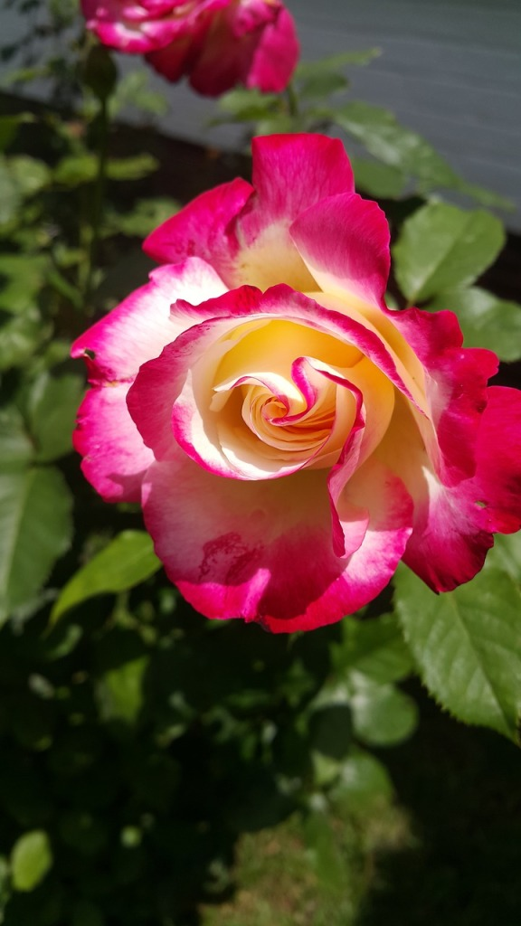 A picture of a rose with two-tone petals.