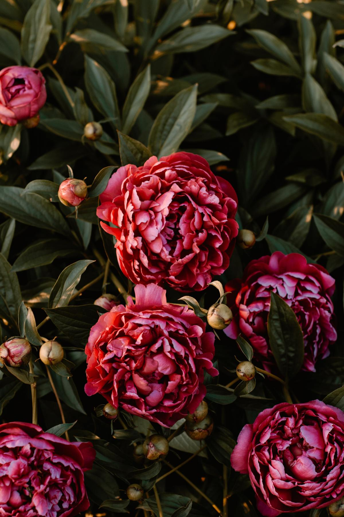Can Peonies Open WithoutAnts?
